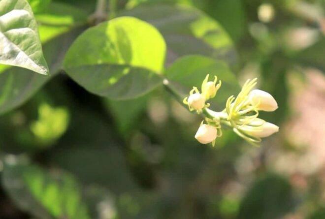 أزهار الفل.. رائحة زكية وتجارة رابحة!